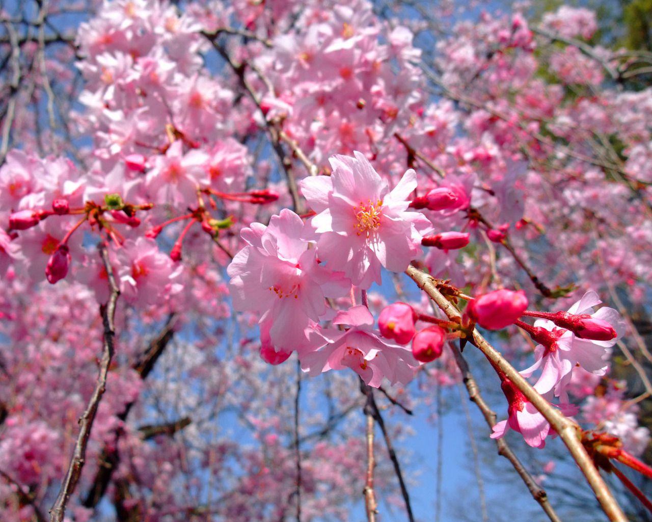 Деревья в розовом цвету на фото - Природа и города - фото и панорамы.