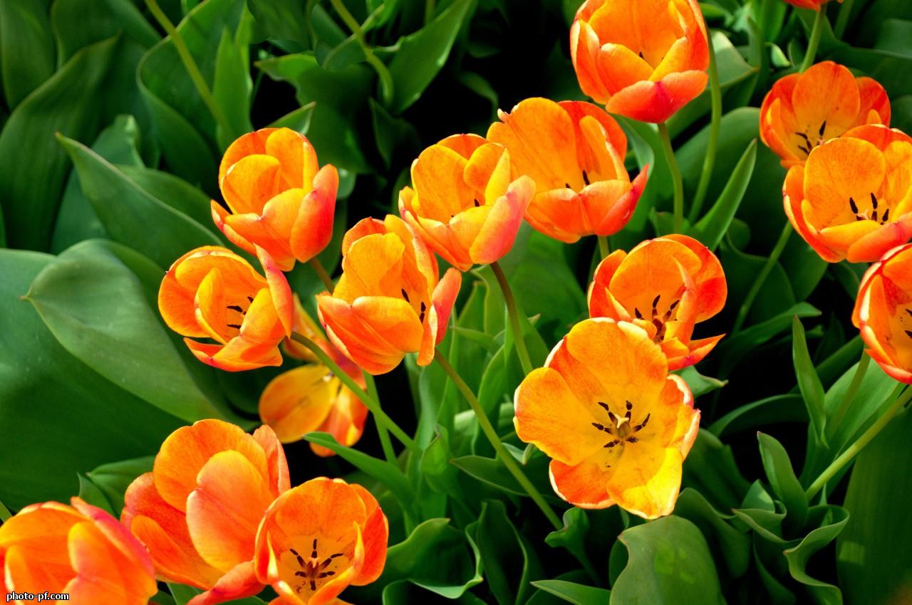 Тюльпан цветок означающий