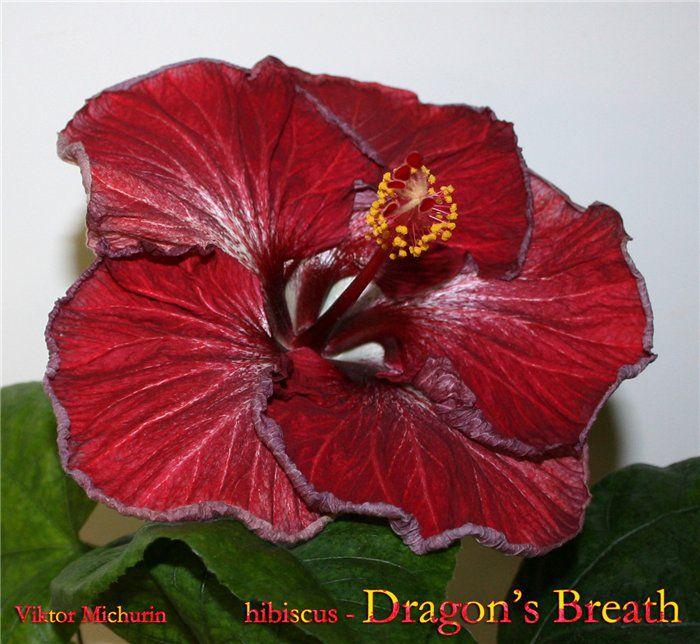 dragon's breath-1b.jpg