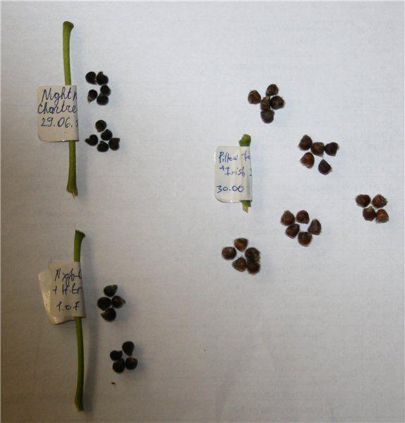 Гибискус из семян, как создать шедевр ...