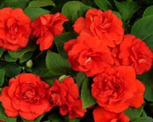 Цветы огонек сорта и