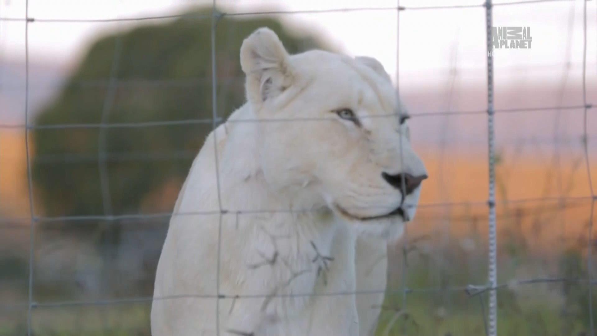 Animal Planet. Королева львов / The Lion Queen (1-6 серия) (2015) HDTV 1080i