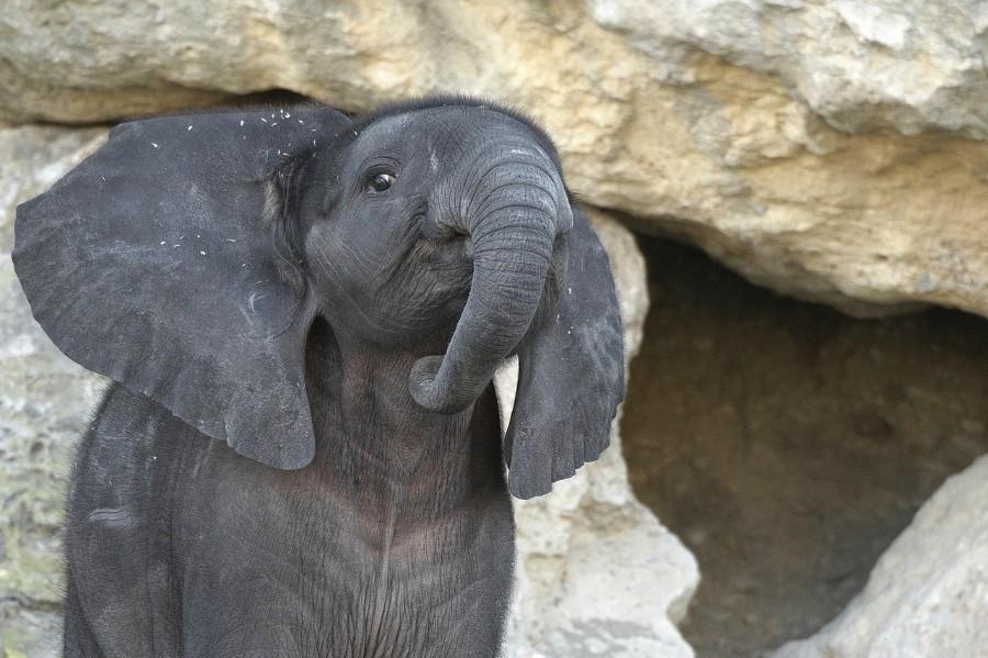 Серый маленький слоненок