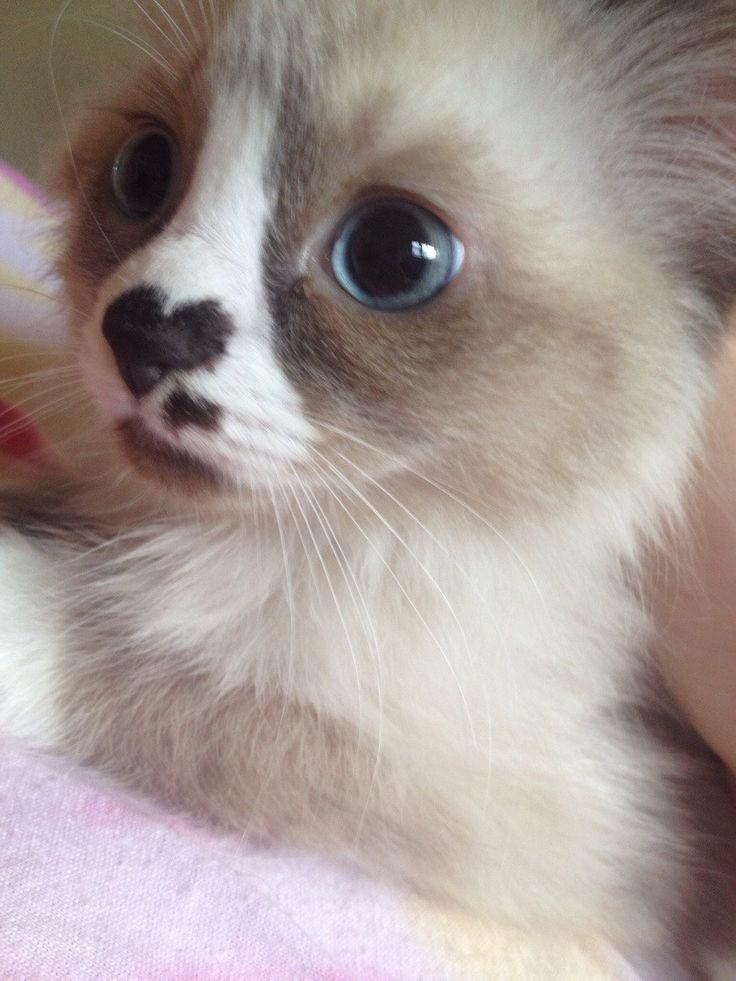 Сердечный котенок