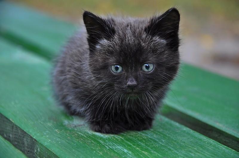 Черный котеныш