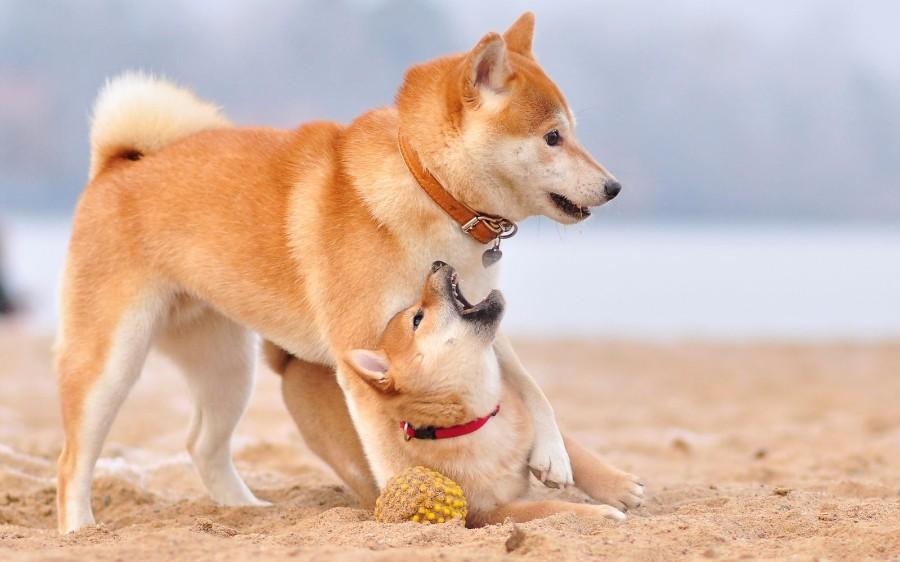 Японские песьки на пляже
