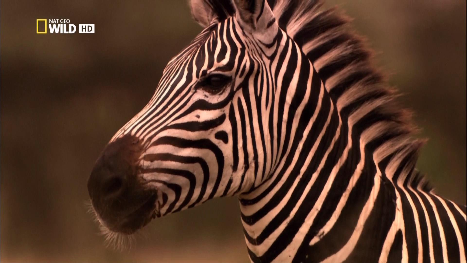 National Geographic. Война львов / National Geographic. Lion Battle Zone / 2011 / HDTV (1080i)