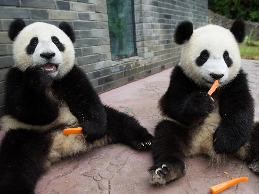 Панды и морковь