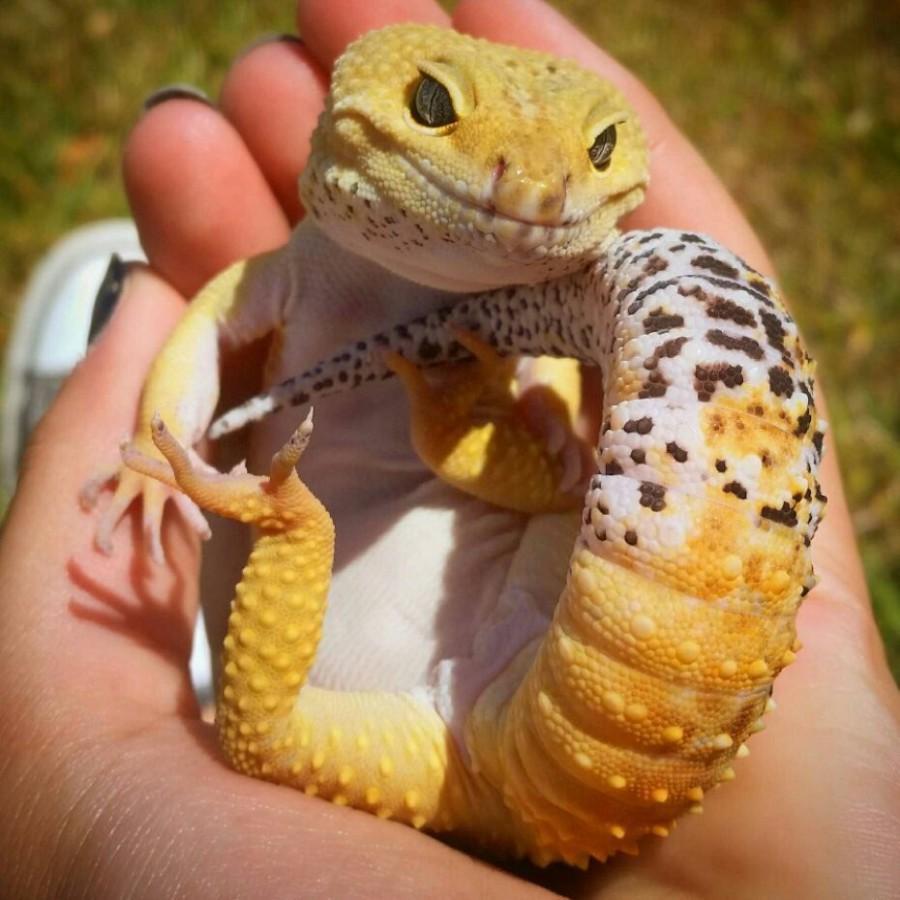 Милый геккончик