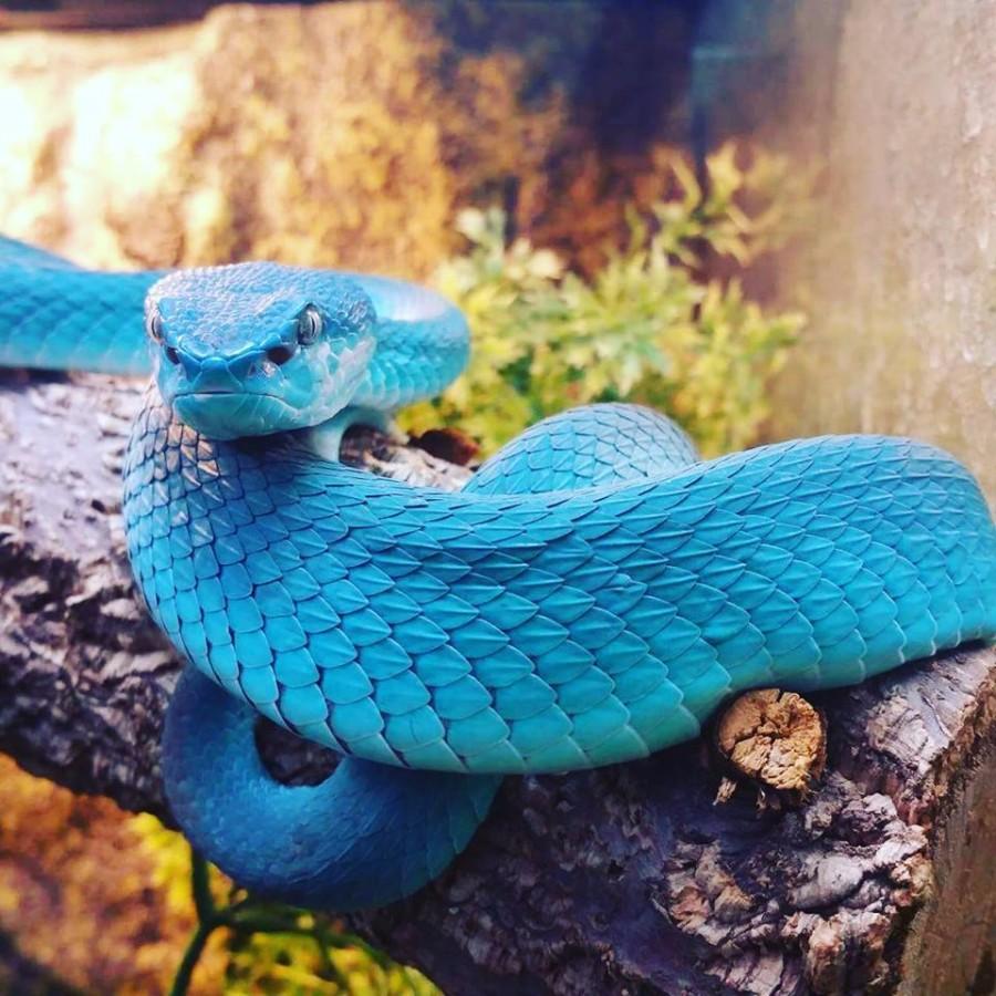 Голубая змея