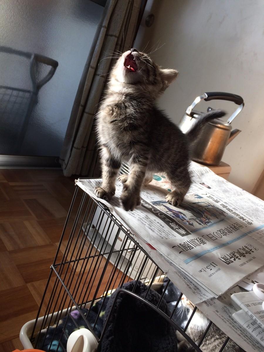 Серый японский котенок