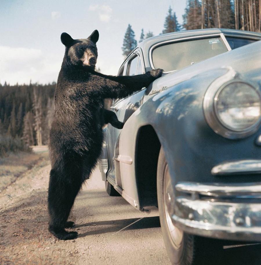 Видит медведь автомобиль...