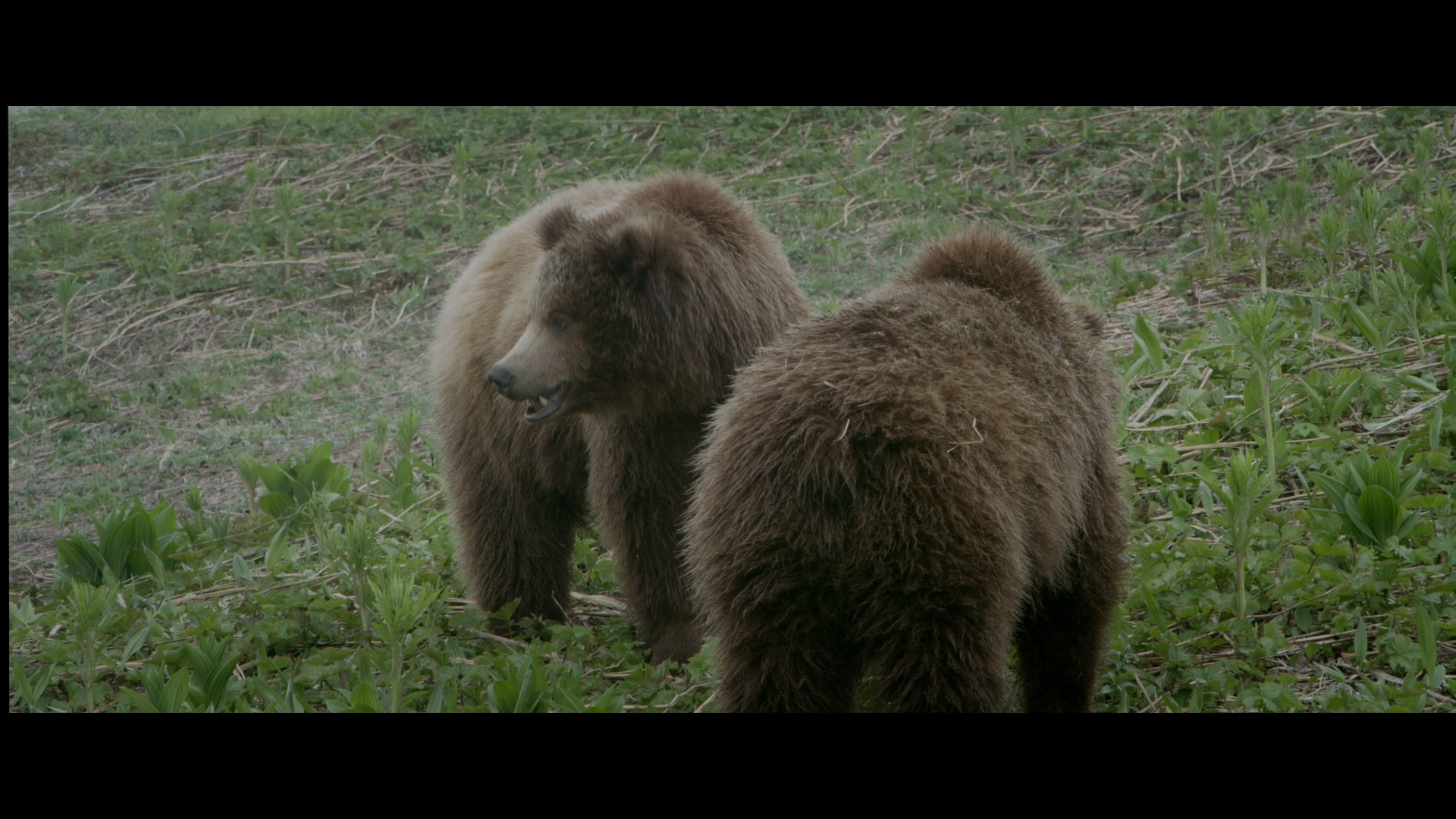 Земля медведей / Land of the Bears / Terre des ours (2013/BDRemux) 1080р
