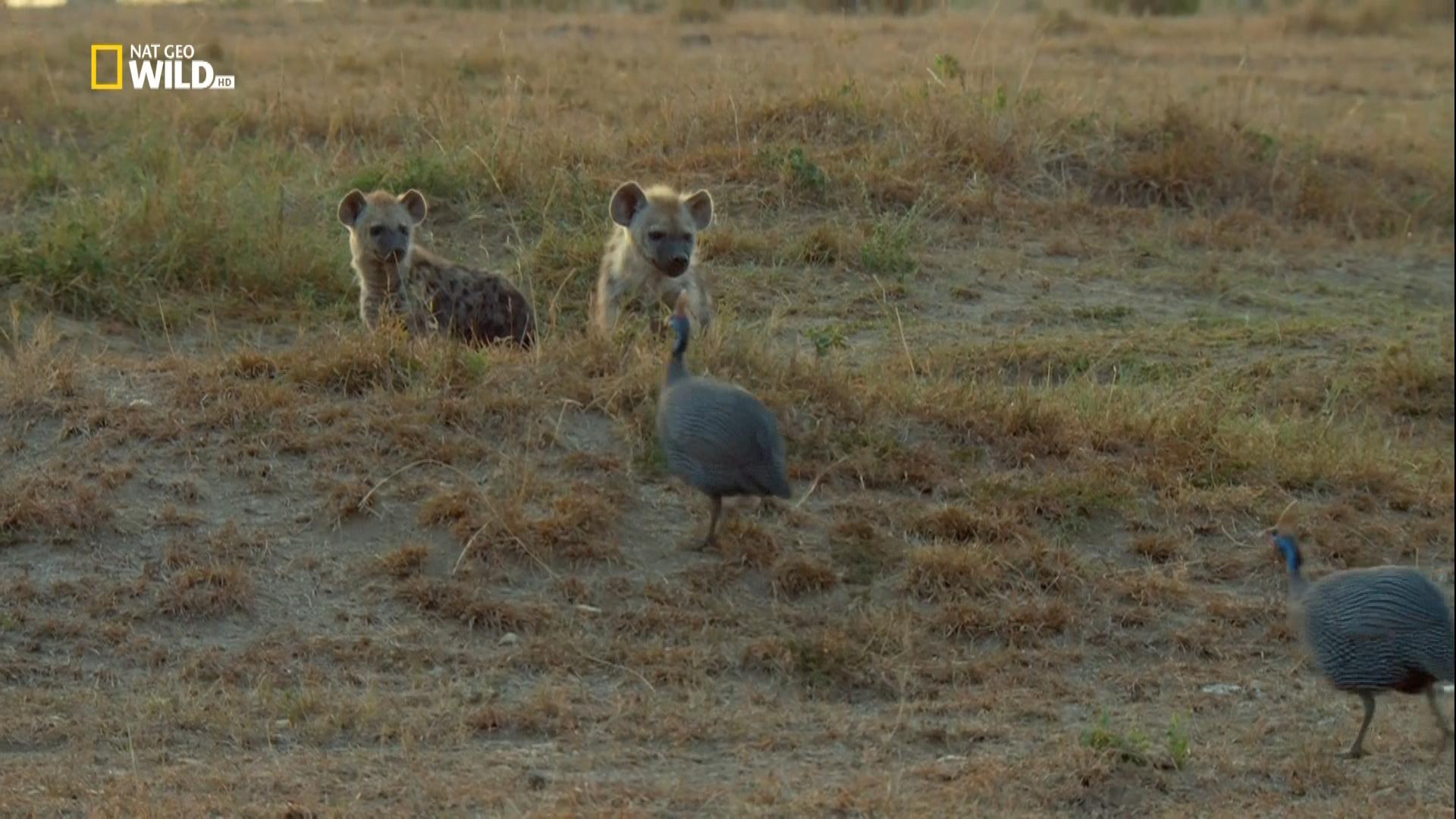 Рожденные в Африке. Уроки охоты / Born in Africa (2018/HDTV), 1080i