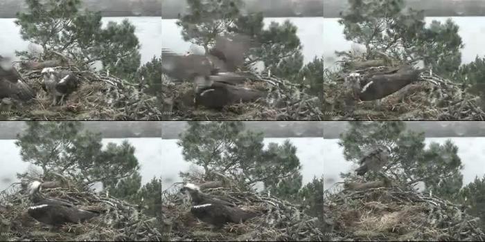 dfbe053869aeddd4e6305944faac1b59 - Osprey Mating Again Animal Fuck - Mating ZooSex Videos